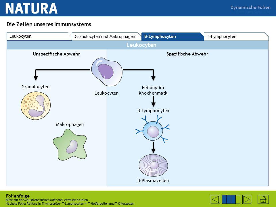 Dynamische Folien Leukocyten Unspezifische AbwehrSpezifische Abwehr Folienfolge Bitte mit der Maustaste klicken oder die Leertaste drücken Nächste Folie: Reifung in Thymusdrüse – T-Lymphocyten  T-Helferzellen und T-Killerzellen Zum Buch Seite 270 Die Zellen unseres Immunsystems Leukocyten Granulocyten Makrophagen Reifung im Knochenmatk B-Lymphocyten B-Plasmazellen T-Lymphocyten Granulocyten und Makrophagen B-Lymphocyten Leukocyten