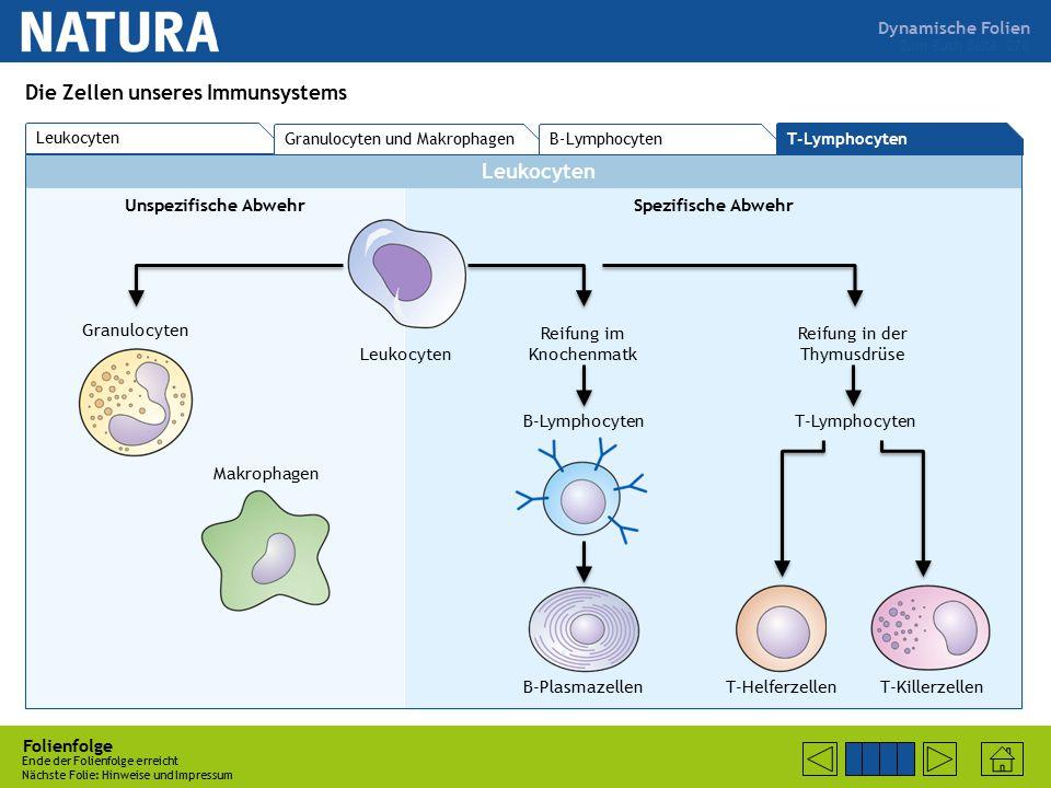 Dynamische Folien Leukocyten Unspezifische AbwehrSpezifische Abwehr Folienfolge Ende der Folienfolge erreicht Nächste Folie: Hinweise und Impressum Zum Buch Seite 270 Die Zellen unseres Immunsystems Leukocyten Granulocyten Makrophagen Reifung im Knochenmatk Reifung in der Thymusdrüse B-Lymphocyten B-Plasmazellen T-Lymphocyten T-HelferzellenT-Killerzellen T-Lymphocyten Granulocyten und Makrophagen B-Lymphocyten Leukocyten