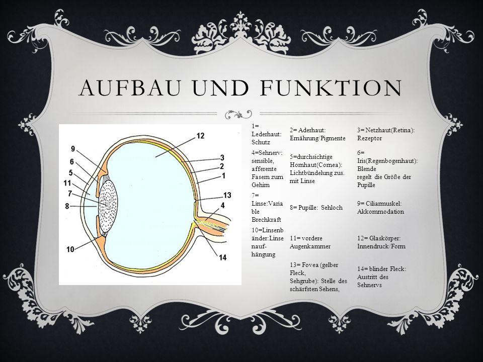AUFBAU UND FUNKTION 1= Lederhaut: Schutz 2= Aderhaut: Ernährung/Pigmente 3= Netzhaut(Retina): Rezeptor 4=Sehnerv: sensible, afferente Fasern zum Gehir