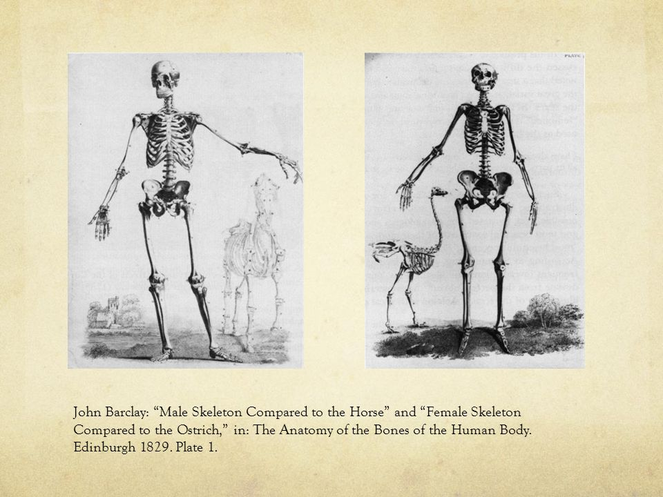 """John Barclay: """"Male Skeleton Compared to the Horse"""" and """"Female Skeleton Compared to the Ostrich,"""" in: The Anatomy of the Bones of the Human Body. Edi"""