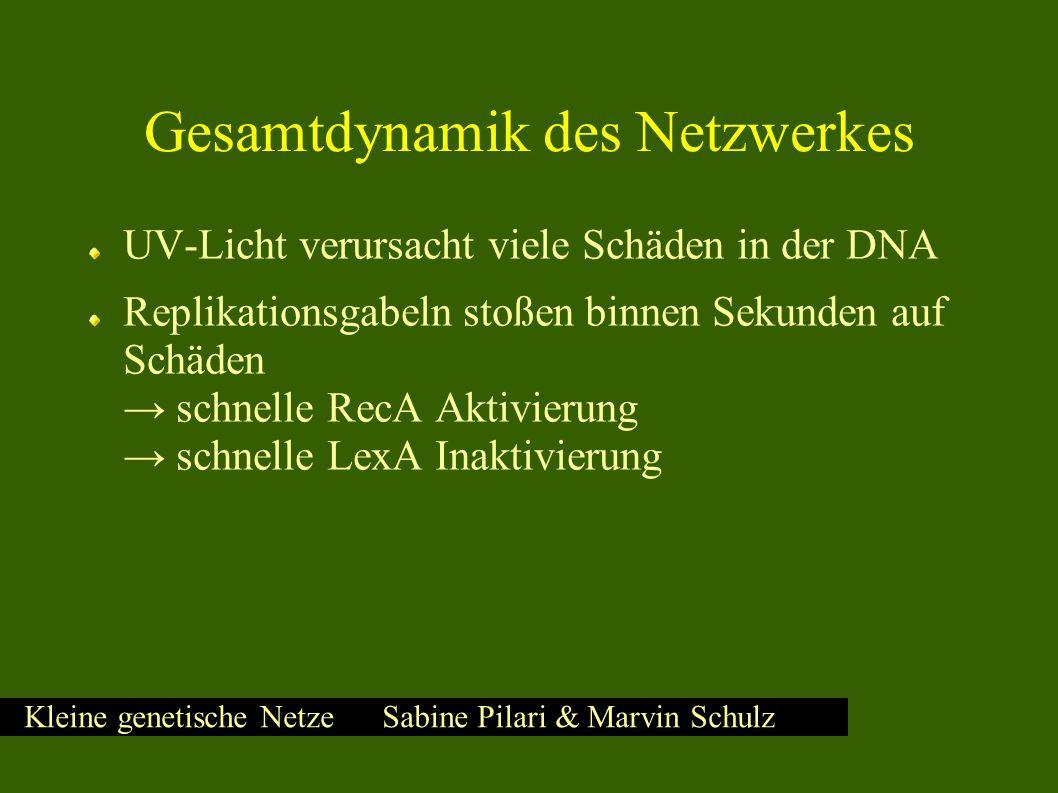 Kleine genetische Netze Sabine Pilari & Marvin Schulz Gesamtdynamik des Netzwerkes UV-Licht verursacht viele Schäden in der DNA Replikationsgabeln stoßen binnen Sekunden auf Schäden → schnelle RecA Aktivierung → schnelle LexA Inaktivierung