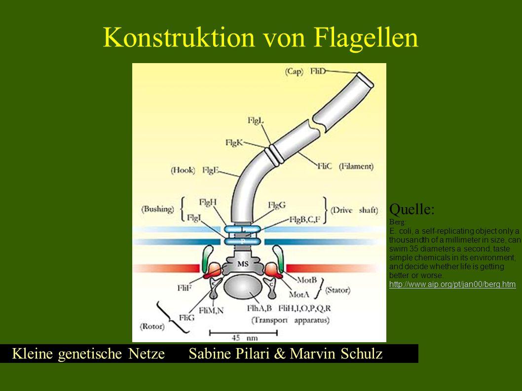 Kleine genetische Netze Sabine Pilari & Marvin Schulz Quelle: Kalir – Ordering Genes in a Flagella Pathway by Analysis of Expression Kinetics from Living Bacteria Flagella Gene Network - Überblick