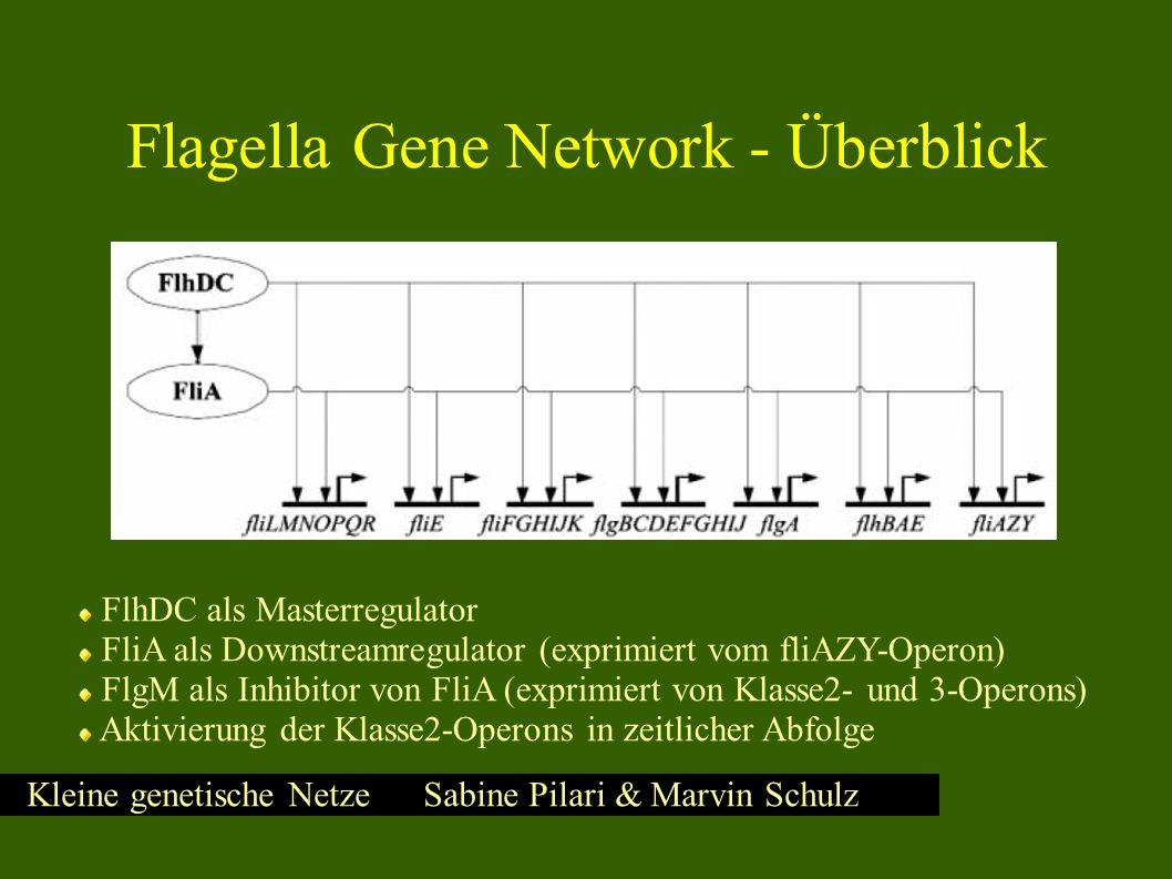 Kleine genetische Netze Sabine Pilari & Marvin Schulz FlhDC als Masterregulator FliA als Downstreamregulator (exprimiert vom fliAZY-Operon) FlgM als Inhibitor von FliA (exprimiert von Klasse2- und 3-Operons) Aktivierung der Klasse2-Operons in zeitlicher Abfolge Flagella Gene Network - Überblick