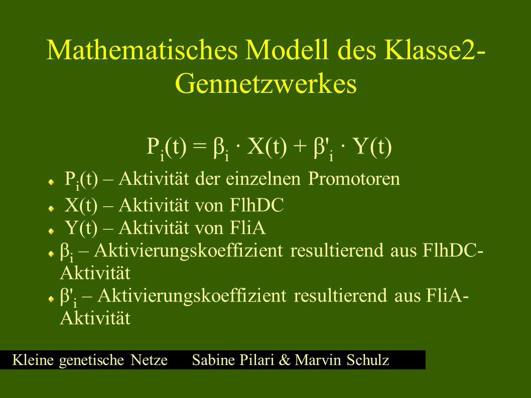 Kleine genetische Netze Sabine Pilari & Marvin Schulz Mathematisches Modell des Klasse2- Gennetzwerkes P i (t) = β i ∙ X(t) + β i ∙ Y(t) P i (t) – Aktivität der einzelnen Promotoren X(t) – Aktivität von FlhDC Y(t) – Aktivität von FliA β i – Aktivierungskoeffizient resultierend aus FlhDC- Aktivität β i – Aktivierungskoeffizient resultierend aus FliA- Aktivität