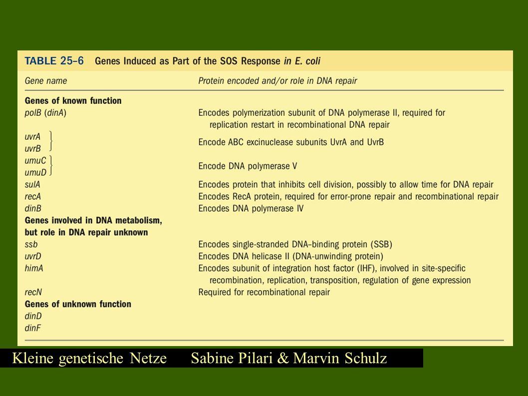 Kleine genetische Netze Sabine Pilari & Marvin Schulz SOS – DNA Reparatursystem