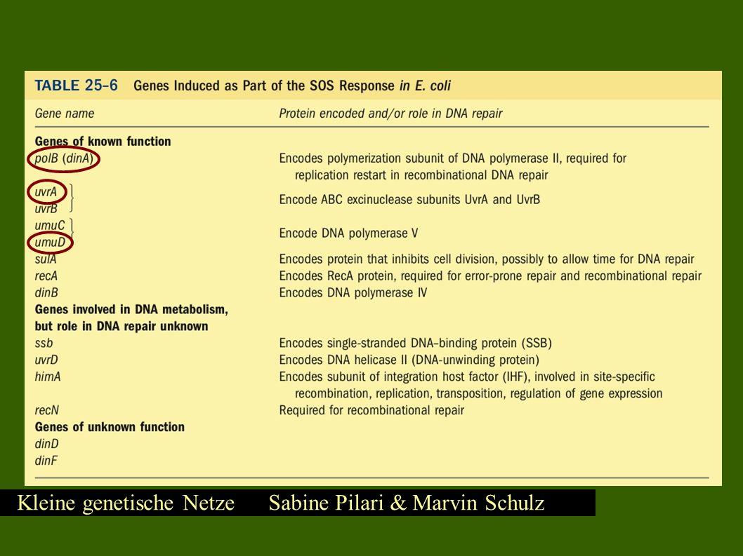 Kleine genetische Netze Sabine Pilari & Marvin Schulz SOS – DNS Reparatursystem
