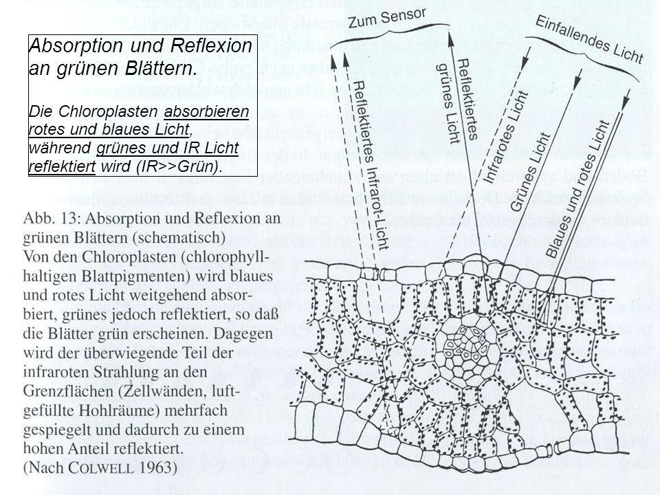 Absorption und Reflexion an grünen Blättern. Die Chloroplasten absorbieren rotes und blaues Licht, während grünes und IR Licht reflektiert wird (IR>>G