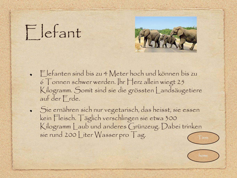 Elefant Elefanten sind bis zu 4 Meter hoch und können bis zu 6 Tonnen schwer werden. Ihr Herz allein wiegt 25 Kilogramm. Somit sind sie die grössten L