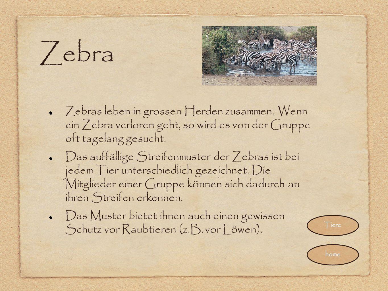 Zebra Zebras leben in grossen Herden zusammen. Wenn ein Zebra verloren geht, so wird es von der Gruppe oft tagelang gesucht. Das auffällige Streifenmu