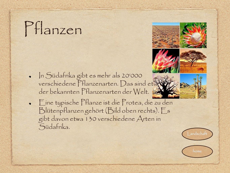 Pflanzen In Südafrika gibt es mehr als 20'000 verschiedene Pflanzenarten. Das sind etwa 10% der bekannten Pflanzenarten der Welt. Eine typische Pflanz
