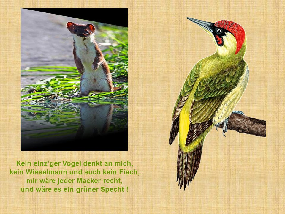 Kein einz'ger Vogel denkt an mich, kein Wieselmann und auch kein Fisch, mir wäre jeder Macker recht, und wäre es ein grüner Specht !