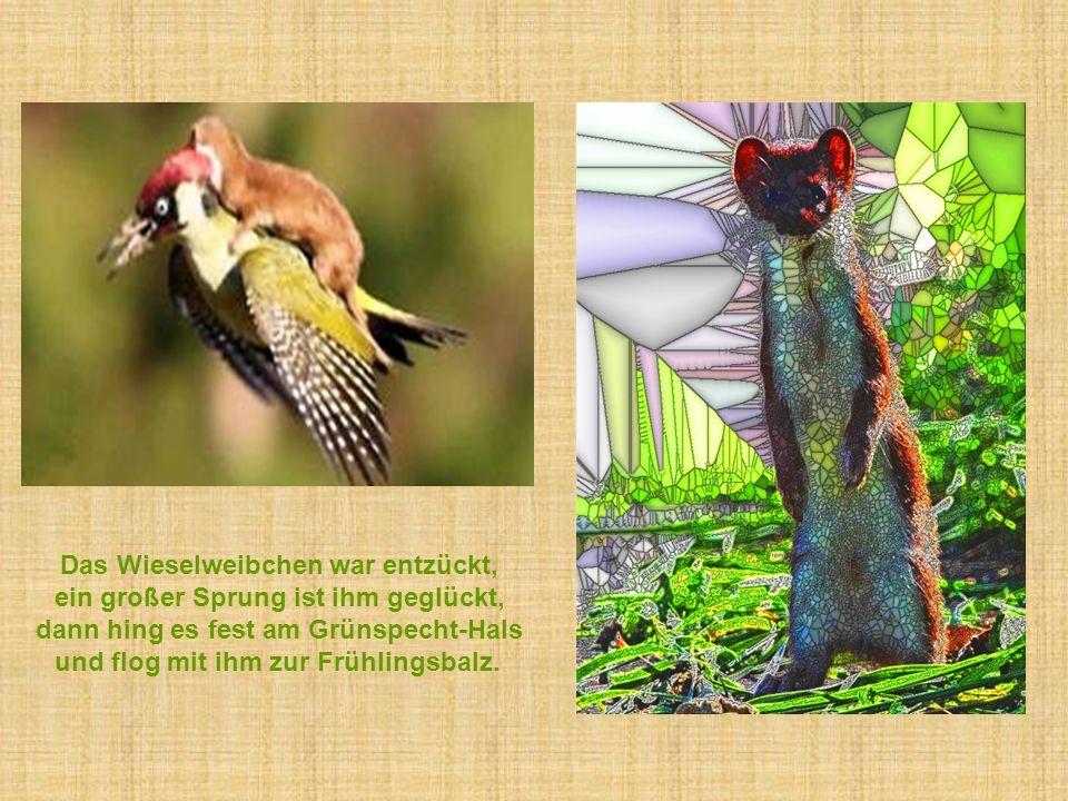 Das Wieselweibchen war entzückt, ein großer Sprung ist ihm geglückt, dann hing es fest am Grünspecht-Hals und flog mit ihm zur Frühlingsbalz.