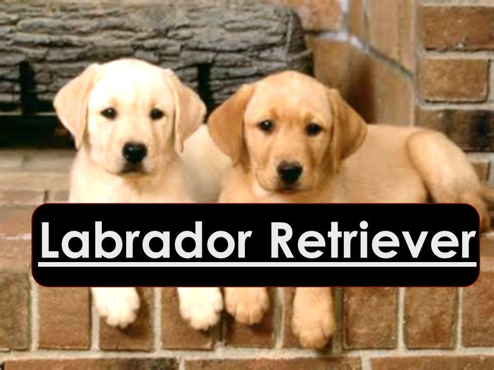 Labrador Retriever Labrador Retriever