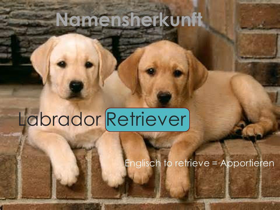 Namensherkunft Englisch to retrieve = Apportieren Labrador Retriever