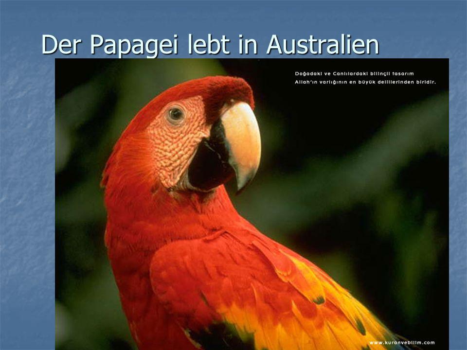 Der Papagei lebt in Australien