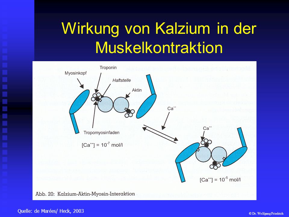 Wirkung von Kalzium in der Muskelkontraktion Quelle: de Marées/ Heck, 2003 © Dr. Wolfgang Friedrich