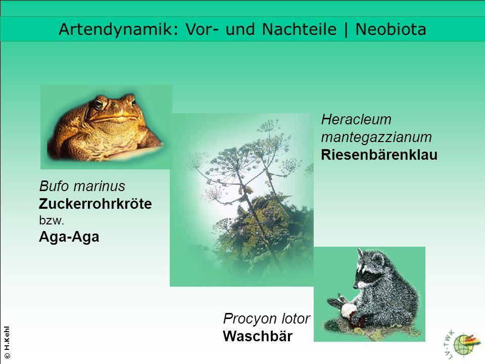 © H.Kehl Artendynamik: Vor- und Nachteile | Neobiota Heracleum mantegazzianum Riesenbärenklau Bufo marinus Zuckerrohrkröte bzw. Aga-Aga Procyon lotor