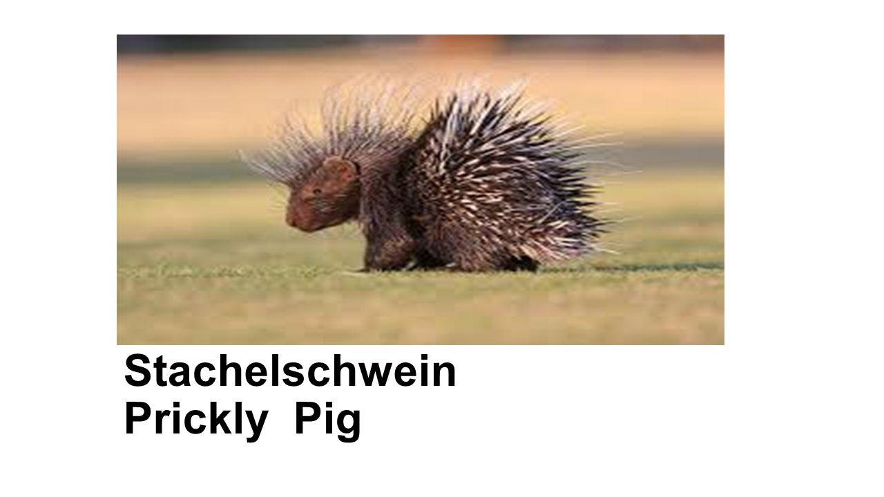Stachelschwein Prickly Pig