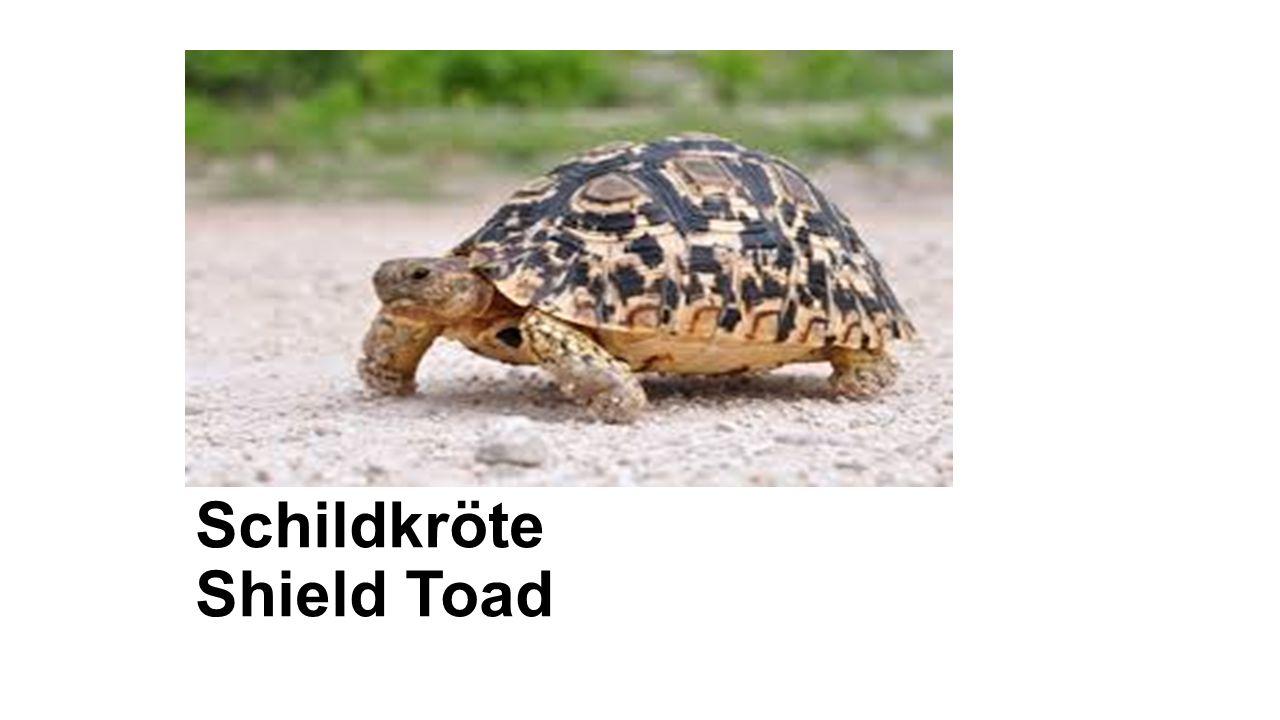 Schildkröte Shield Toad