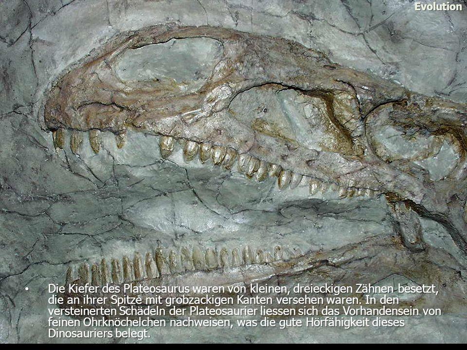 Evolution Die Kiefer des Plateosaurus waren von kleinen, dreieckigen Zähnen besetzt, die an ihrer Spitze mit grobzackigen Kanten versehen waren.