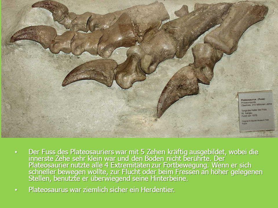 Evolution Der Fuss des Plateosauriers war mit 5 Zehen kräftig ausgebildet, wobei die innerste Zehe sehr klein war und den Boden nicht berührte.