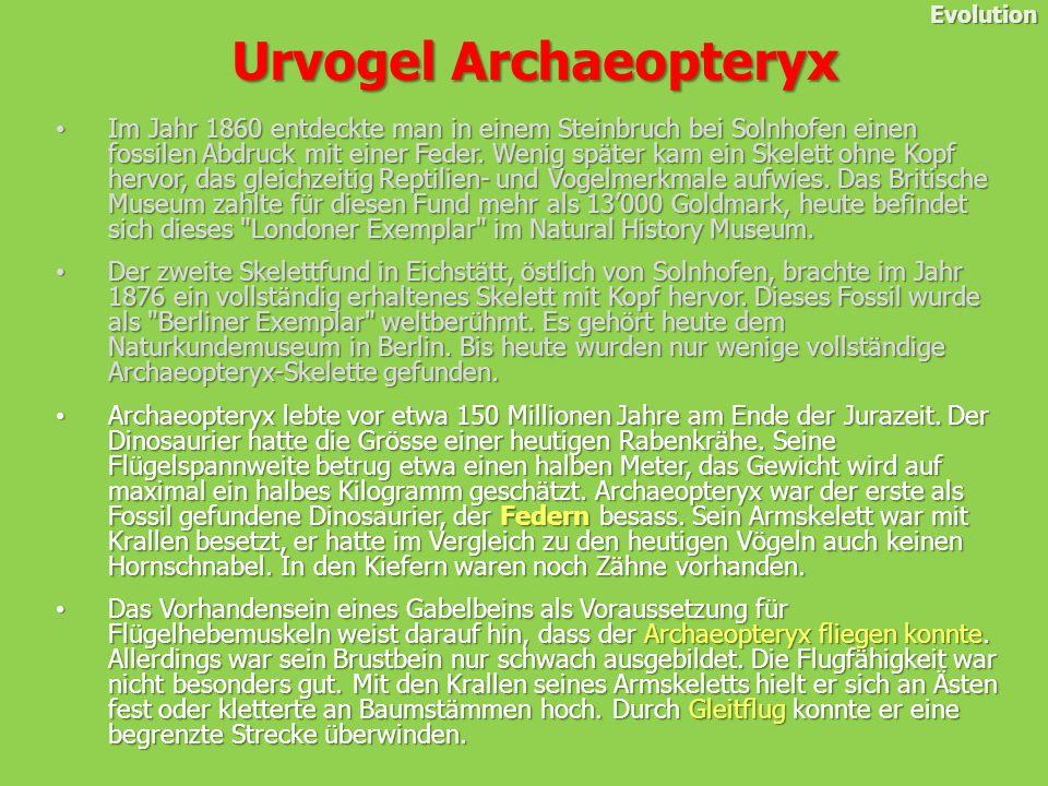 Urvogel Archaeopteryx Urvogel Archaeopteryx Evolution Im Jahr 1860 entdeckte man in einem Steinbruch bei Solnhofen einen fossilen Abdruck mit einer Feder.