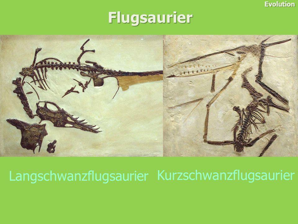 Flugsaurier Evolution Langschwanzflugsaurier Kurzschwanzflugsaurier