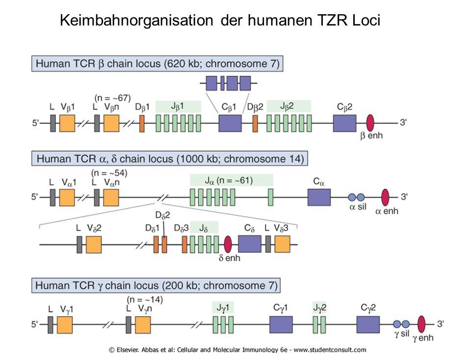 "Rekombination auf DNA Ebene V, D, J nach Baukastensystem unpräzises Verknüpfen der Segmente ""junctional diversity Primäres Kern-Transkript (alternatives) Splicing mRNA Protein Membraninsertion oder Sezernierung"