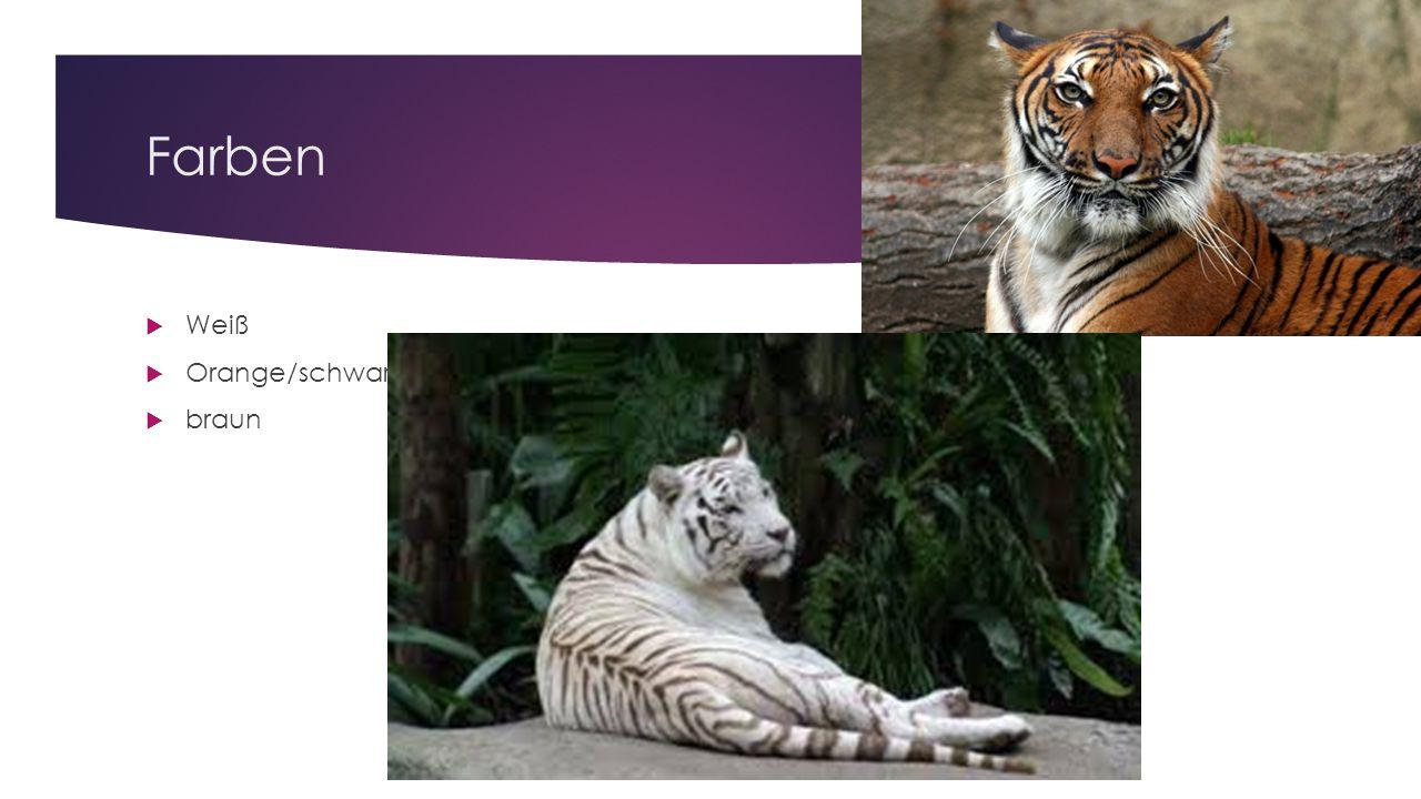 Nahrung  Tiger fressen täglich, können aber bis zu einer Woche fasten.