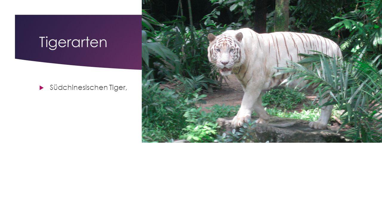 Körpergröße  Große Tigermännchen der sibirischen oder indischen Unterart erreichen normalerweise eine Kopfrumpflänge von maximal 2 m.