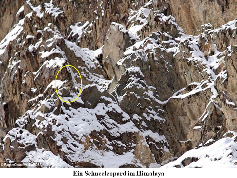 Ein Schneeleopard im Himalaya