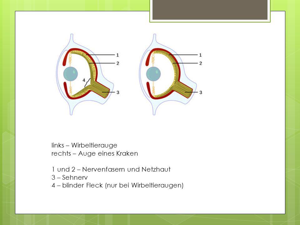 links – Wirbeltierauge rechts – Auge eines Kraken 1 und 2 – Nervenfasern und Netzhaut 3 – Sehnerv 4 – blinder Fleck (nur bei Wirbeltieraugen)