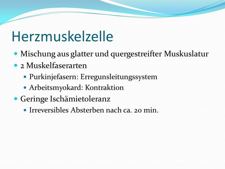 Herzmuskelzelle Mischung aus glatter und quergestreifter Muskuslatur 2 Muskelfaserarten Purkinjefasern: Erregunsleitungssystem Arbeitsmyokard: Kontrak