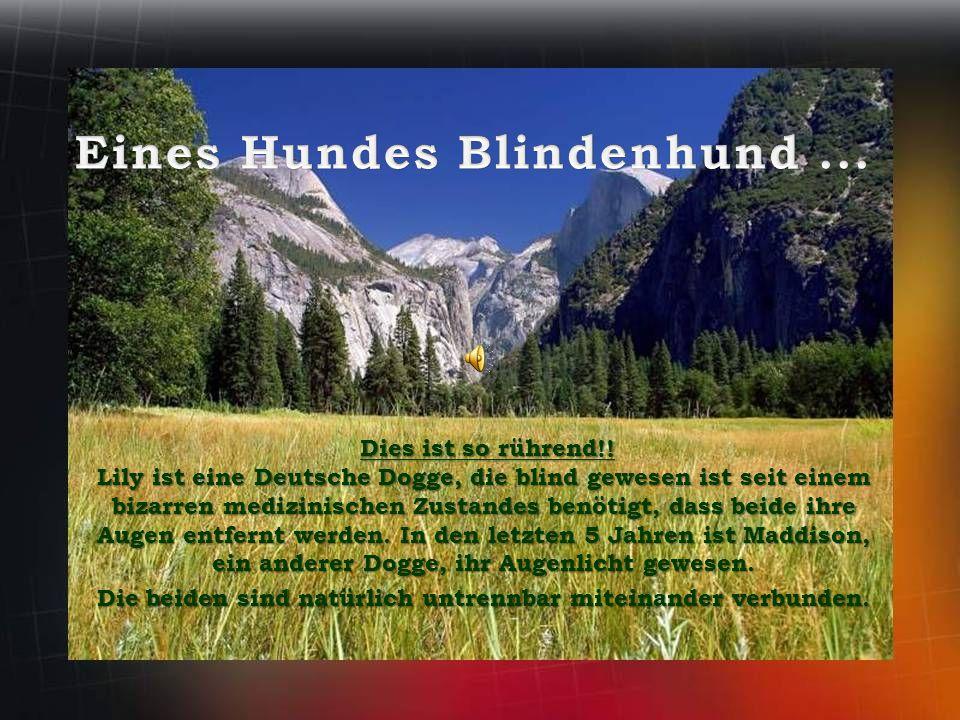 Dies ist so rührend!! Lily ist eine Deutsche Dogge, die blind gewesen ist seit einem bizarren medizinischen Zustandes benötigt, dass beide ihre Augen