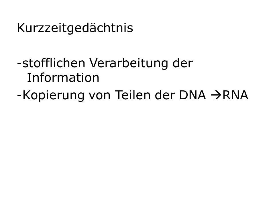 Kurzzeitgedächtnis -stofflichen Verarbeitung der Information -Kopierung von Teilen der DNA  RNA