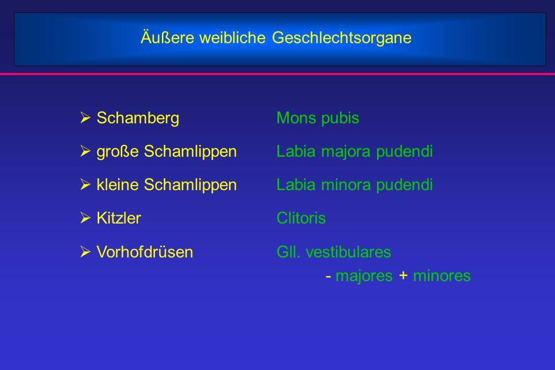 Äußere weibliche Geschlechtsorgane  SchambergMons pubis  große SchamlippenLabia majora pudendi  kleine SchamlippenLabia minora pudendi  KitzlerCli