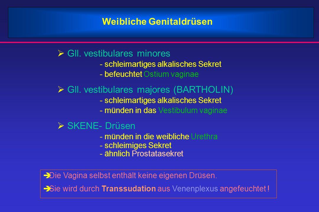 Weibliche Genitaldrüsen  Gll. vestibulares minores - schleimartiges alkalisches Sekret - befeuchtet Ostium vaginae  Gll. vestibulares majores (BARTH