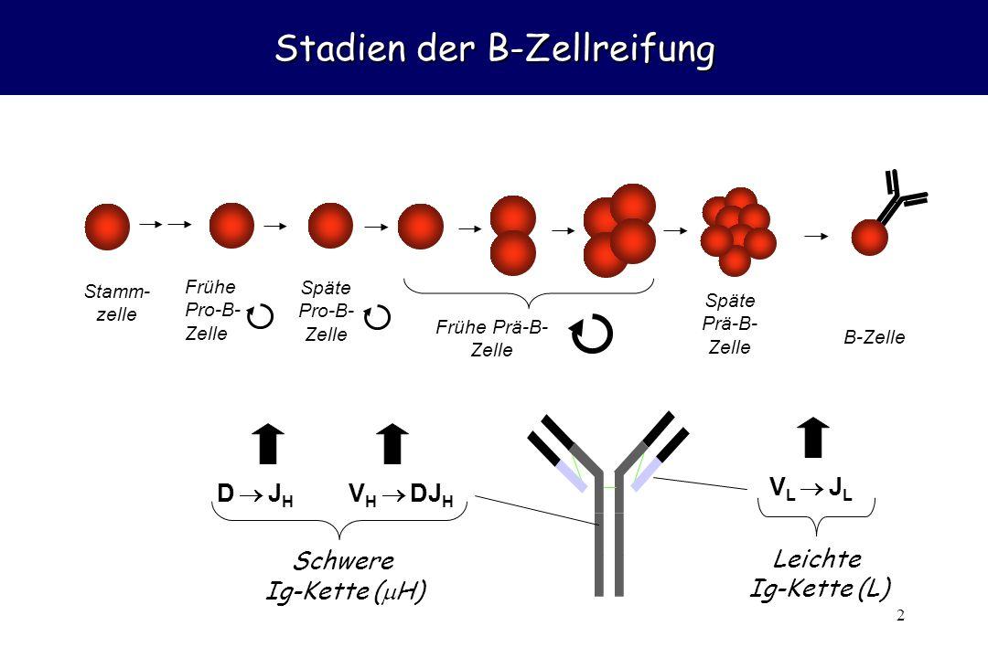 2 Stadien der B-Zellreifung D  JHD  JH V H  DJ H Schwere Ig-Kette (  H) V L  J L Leichte Ig-Kette (L) Späte Pro-B- Zelle Späte Prä-B- Zelle B-Zelle Frühe Prä-B- Zelle Stamm- zelle Frühe Pro-B- Zelle