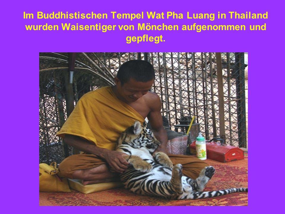 Im Buddhistischen Tempel Wat Pha Luang in Thailand wurden Waisentiger von Mönchen aufgenommen und gepflegt.