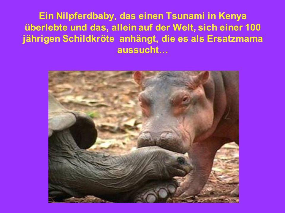 Ein Nilpferdbaby, das einen Tsunami in Kenya überlebte und das, allein auf der Welt, sich einer 100 jährigen Schildkröte anhängt, die es als Ersatzmama aussucht…