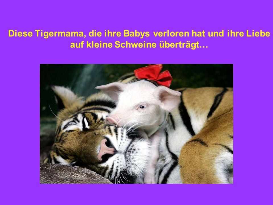 Diese Tigermama, die ihre Babys verloren hat und ihre Liebe auf kleine Schweine überträgt…