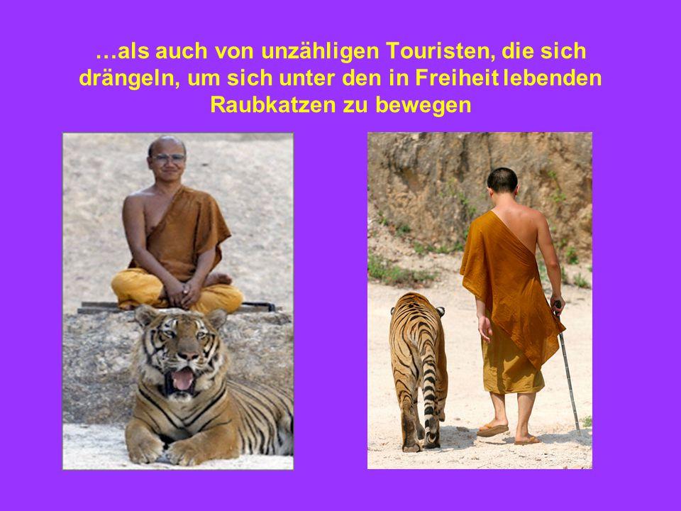 …als auch von unzähligen Touristen, die sich drängeln, um sich unter den in Freiheit lebenden Raubkatzen zu bewegen