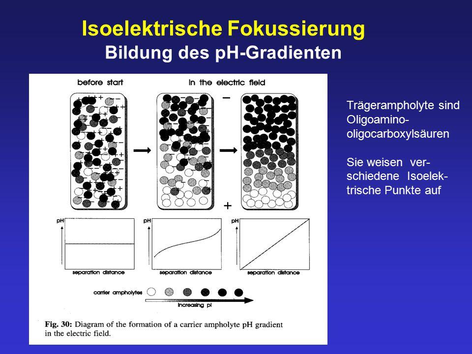 Isoelektrische Fokussierung Bildung des pH-Gradienten Trägerampholyte sind Oligoamino- oligocarboxylsäuren Sie weisen ver- schiedene Isoelek- trische Punkte auf