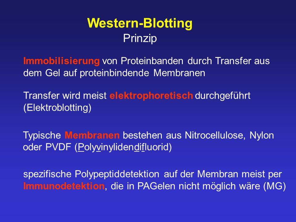 Western-Blotting Prinzip Immobilisierung von Proteinbanden durch Transfer aus dem Gel auf proteinbindende Membranen spezifische Polypeptiddetektion auf der Membran meist per Immunodetektion, die in PAGelen nicht möglich wäre (MG) Transfer wird meist elektrophoretisch durchgeführt (Elektroblotting) Typische Membranen bestehen aus Nitrocellulose, Nylon oder PVDF (Polyvinylidendifluorid)