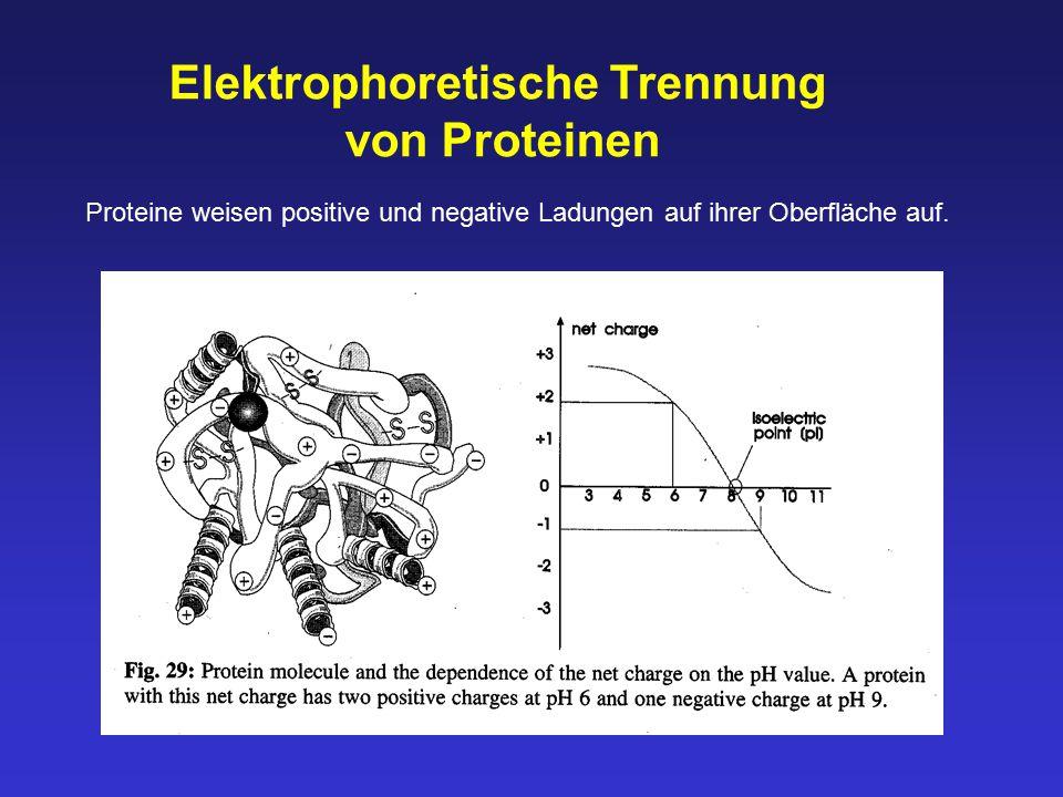 Elektrophoretische Trennung von Proteinen Proteine weisen positive und negative Ladungen auf ihrer Oberfläche auf.