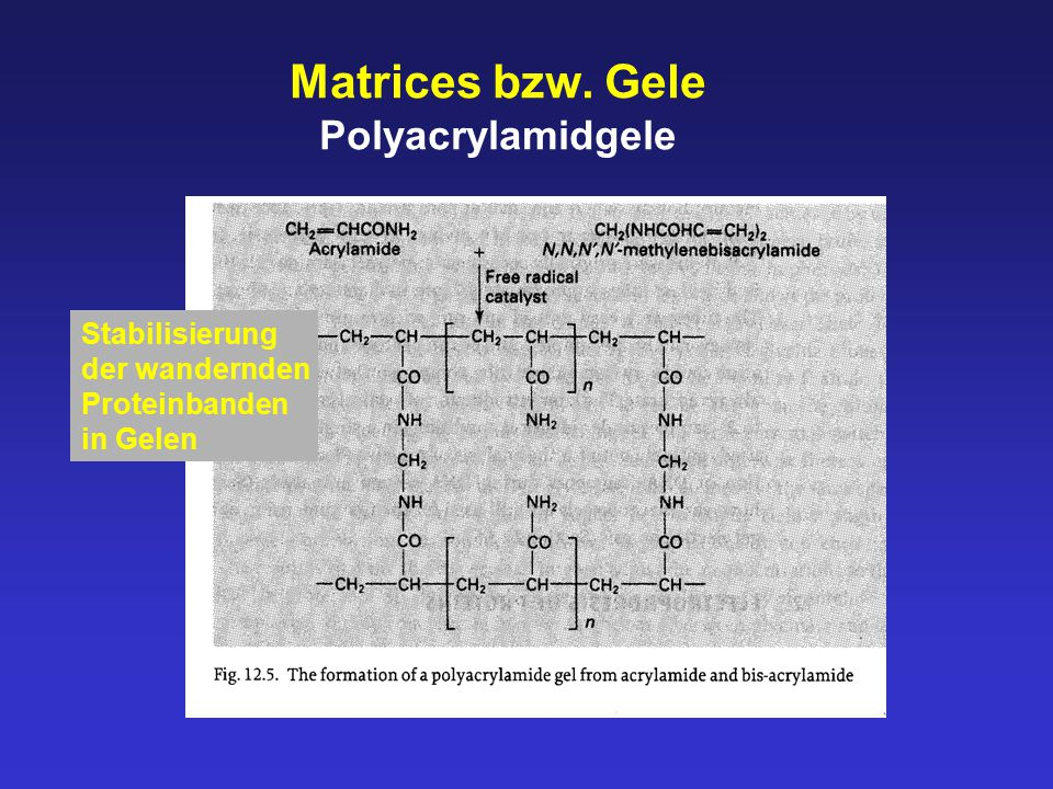 """SDS-PAGE Vorteile die Oberflächenladungen der Proteine werden maskiert die Menge der """"neuen negativen Ladungen korrelieren mit der Masse des Proteins (in Dalton) alle Proteine besitzen nach der Auffaltung diesselbe Konfiguration die Trennung erfolgt folglich nach Molekularmasse der Proteine Ausnahmen: Glykoproteine, Peptide < 15kDa"""