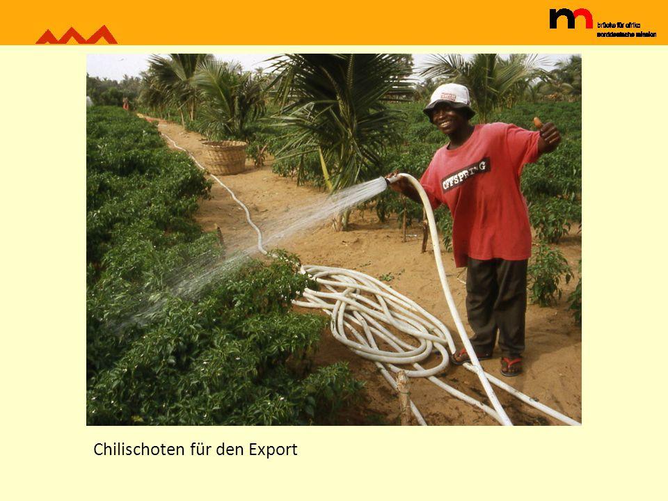Chilischoten für den Export