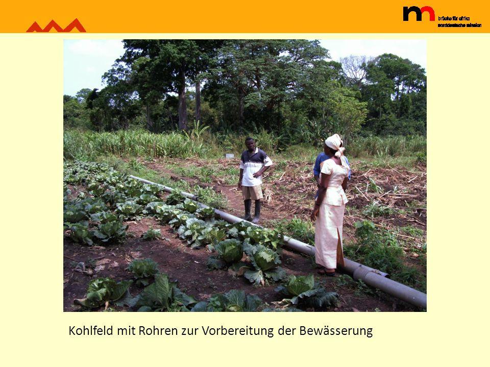 Kohlfeld mit Rohren zur Vorbereitung der Bewässerung