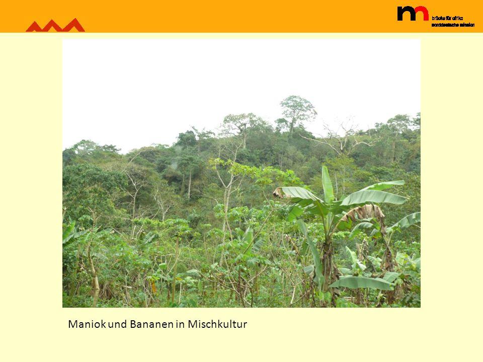 Maniok und Bananen in Mischkultur