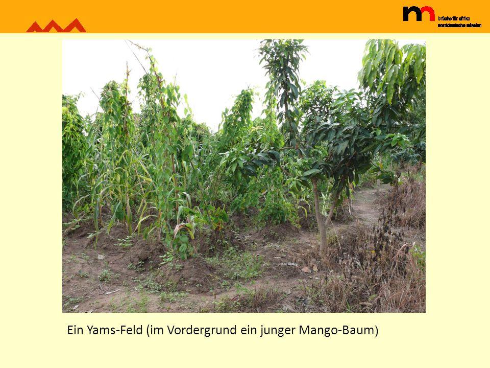 Ein Yams-Feld (im Vordergrund ein junger Mango-Baum )
